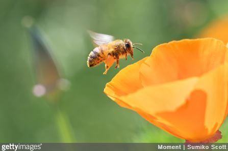 Gros plan d'une abeille qui butine une fleur orange